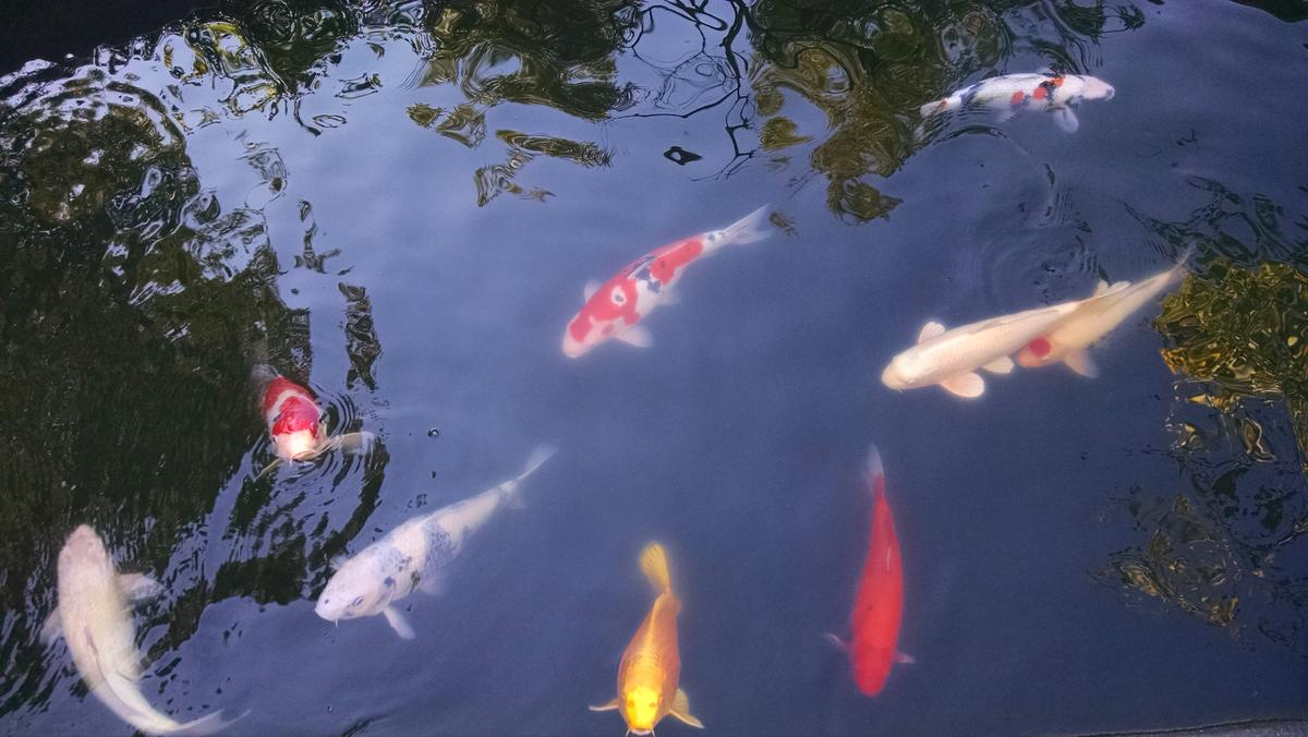Name:  Koi Pond NO UV 6 days MaSuRO.jpg