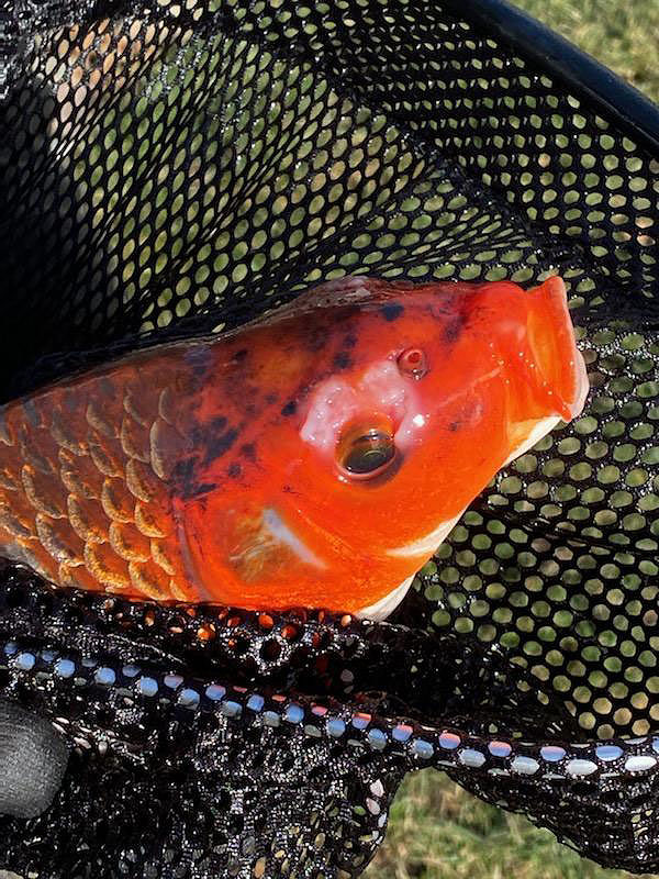 Name:  koi 1.jpg