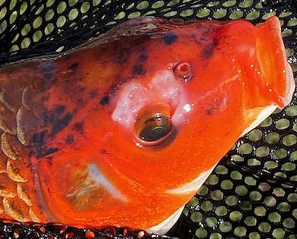 Name:  koi 1 zoomed.jpg