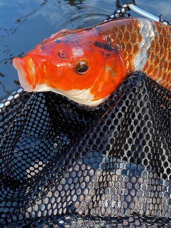 Name:  koi 2.jpg