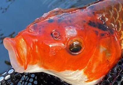 Name:  koi 2 zoomed.jpg