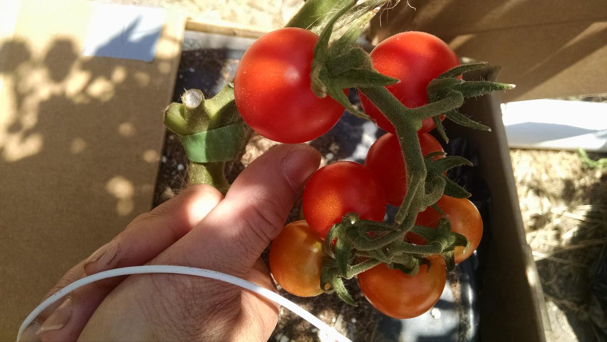 Name:  Cherry tomatoes.jpg