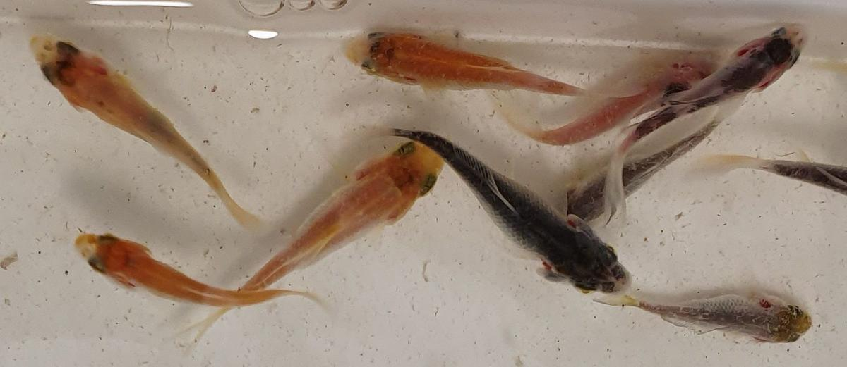 Name:  191130 Fry with deformed gill plates.jpg Views: 65 Size:  57.5 KB
