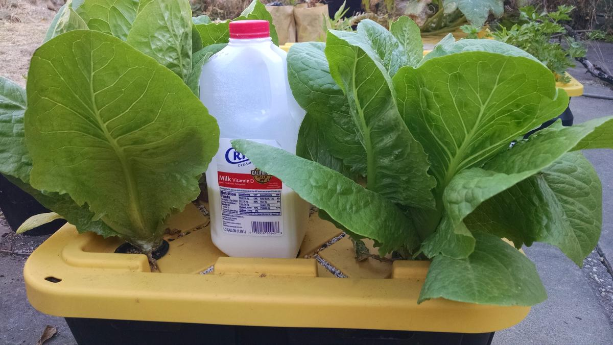 Name:  Lettuce with concentrated pond water.jpg Views: 40 Size:  114.2 KB