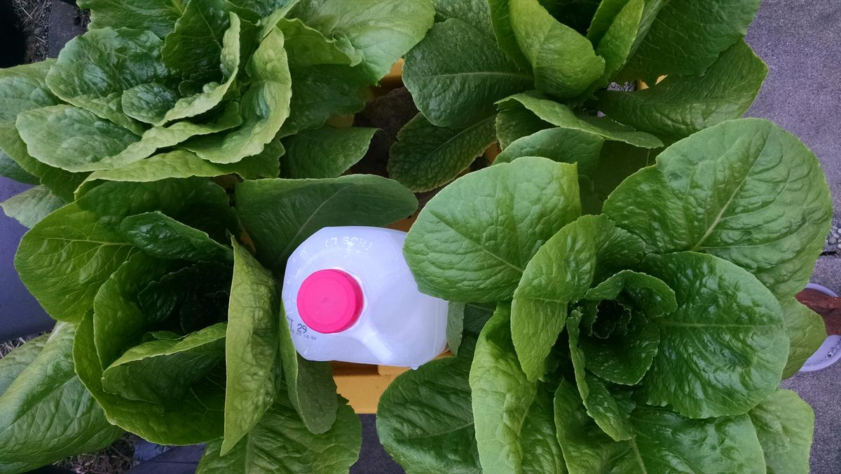 Name:  Lettuce with concentrated pond water2.jpg Views: 40 Size:  132.4 KB