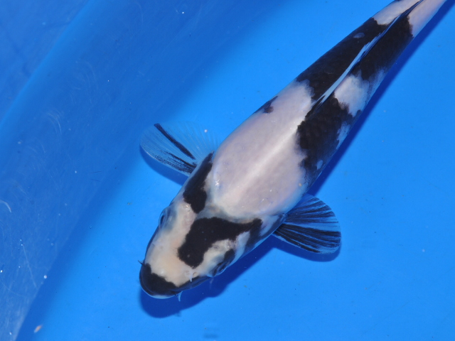 Name:  SSC_0122_115Koi.JPG